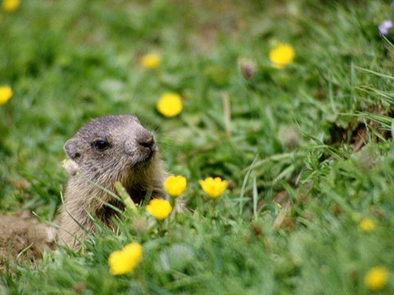 Marmotte aperçue à la montagne en été durant els colonies de vacances djuringa juniros