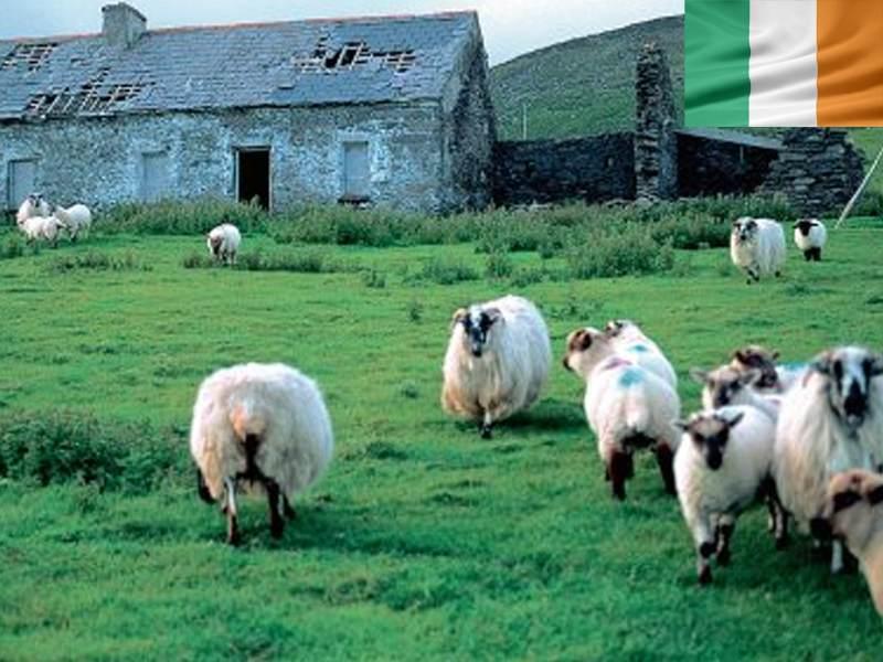 moutons à la campagne en irlande apercus cet été en colonie de vacances en Irlande pour ados