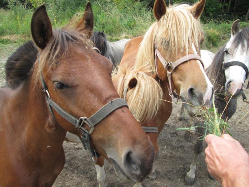 ado nourrissant les chevaux en colo cet été