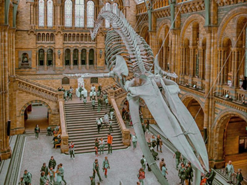 Le squelette du dinosaure exposé au musée d'histoire naturelle de Londres en Angleterre
