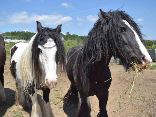 Deux chevaux de la colonie équitation