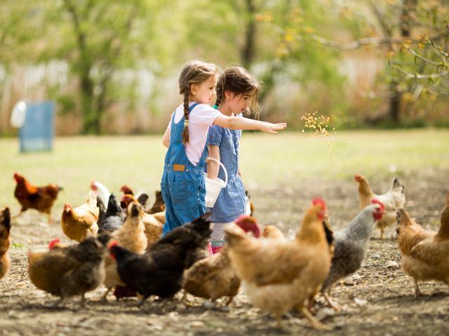 Deux enfants donnant à manger à des poules en colonie de vacances d'été