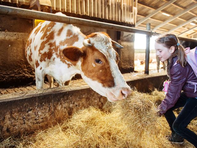 Fillette donnant à manger à une vache à la ferme en colonie de vacances à la montagne
