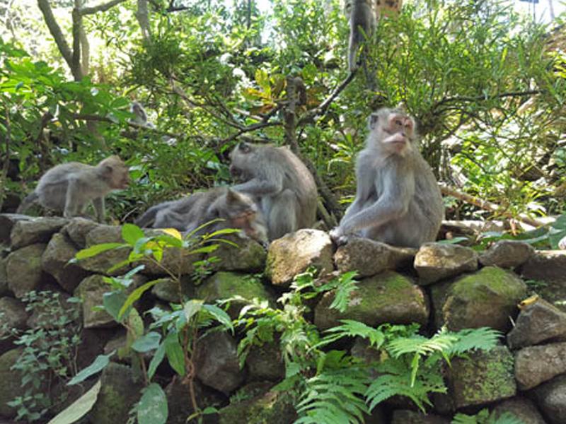 Singes aperçus à Bali en colonie de vacances itinérante