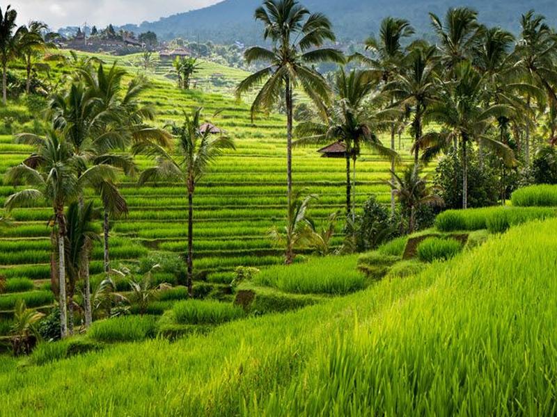 Paysage de champs de rizière en colonie de vacances ados