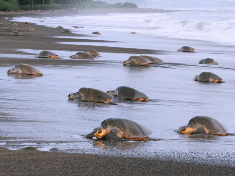 Tortues de mer au Costa Rica cet été