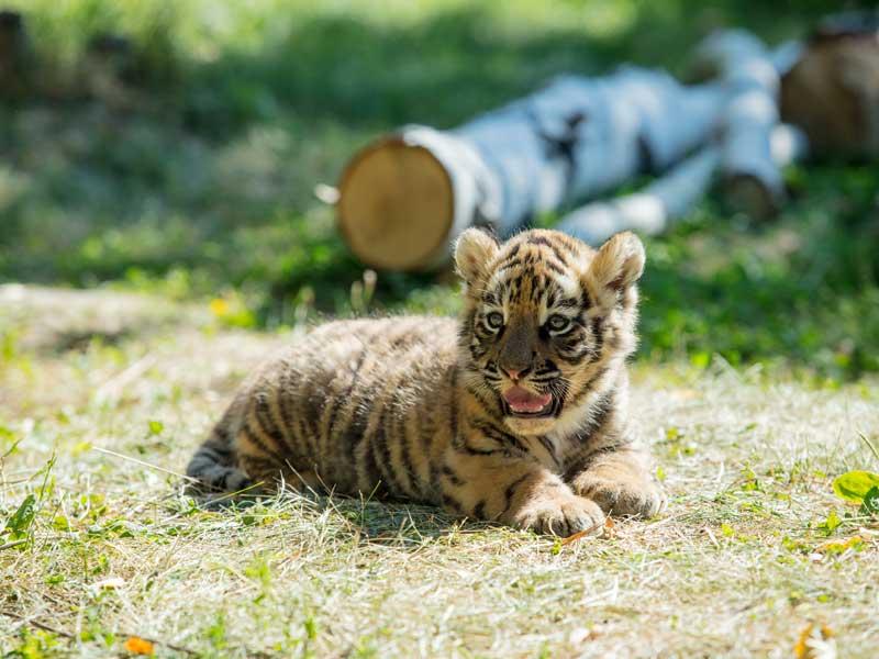 Jeune tigre dans un zoo en colonie de vacances d'été