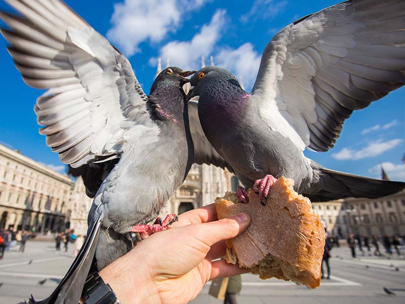 Deux pigeons sur la place de Vérone en Italie cet été