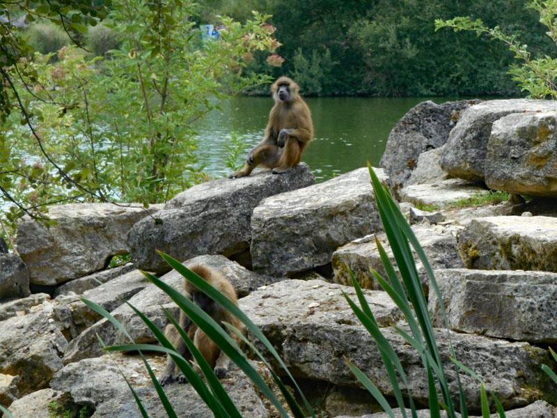 Singe au zooparc de beauval cet été