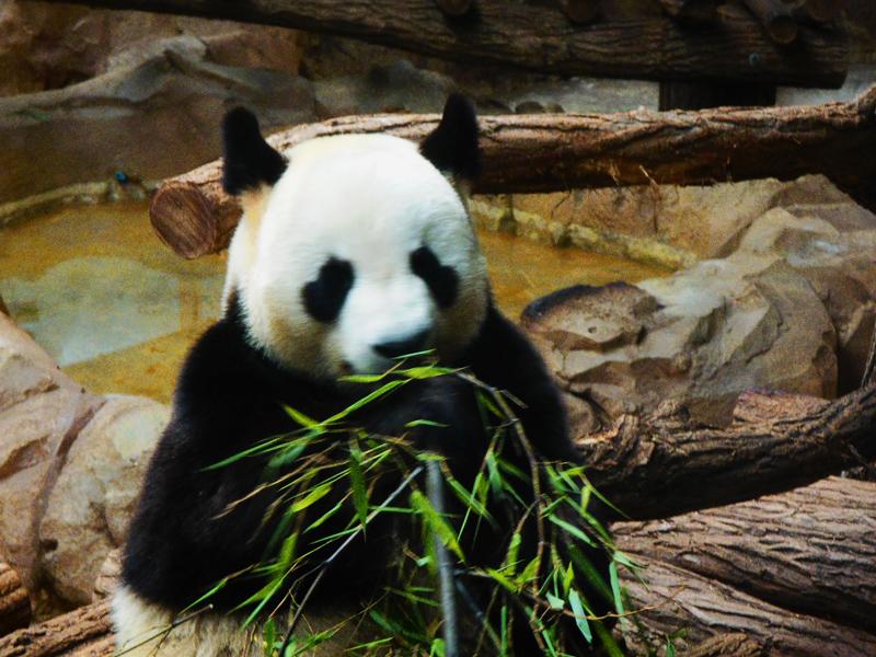 Panda au zooparc de beauval