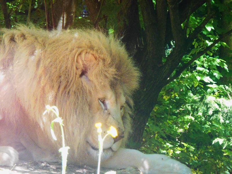 Lion du zooparc de beauval cet été