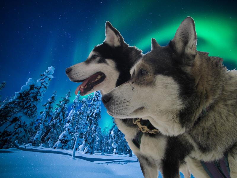 Chiens de traîneaux et aurores boréales en Laponie