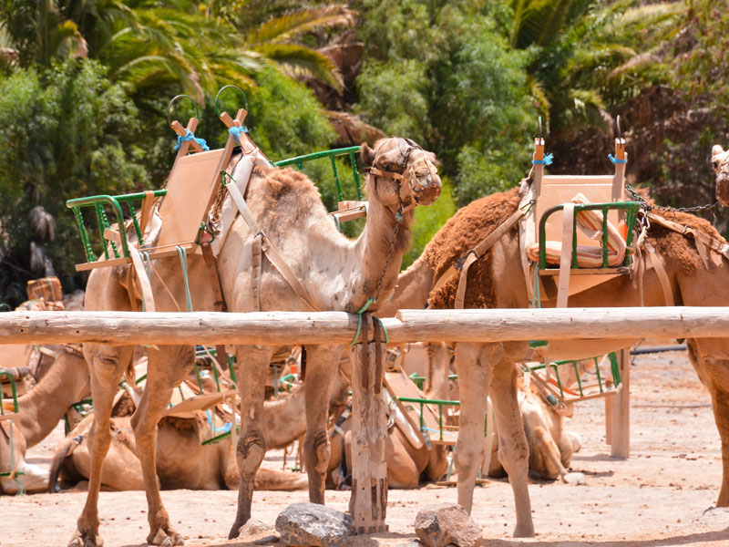 Dromadaires en colonie de vacances à Fuerteventura en Espagne