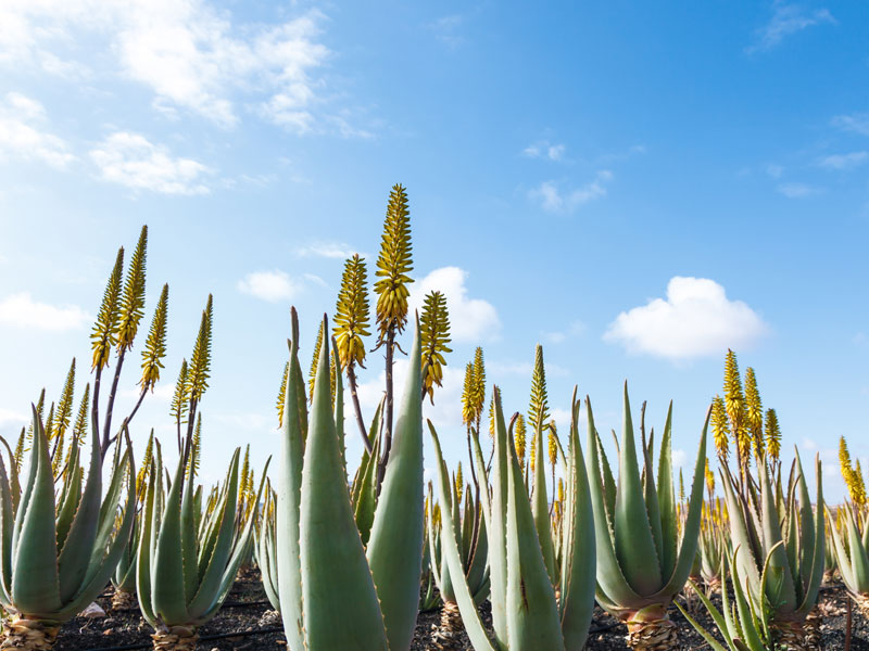 Flore de l'île Fuerteventura aux Canaries en colonie de vacances
