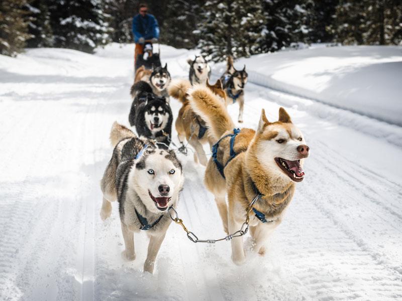 Attelage de chiens de traîneaux à la montagne en colo pour enfants de 12 ans