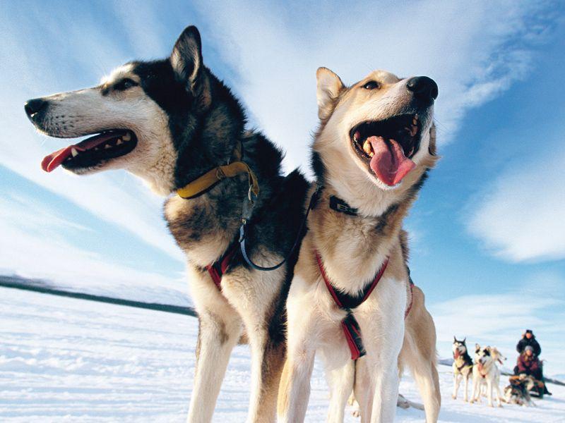 Deux chiens de traîneaux en balade
