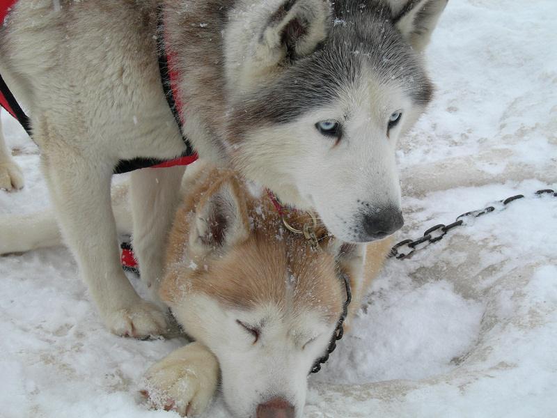 Deux husky dans la neige