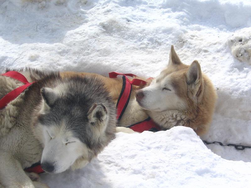 Husky d'attelage dans la neige