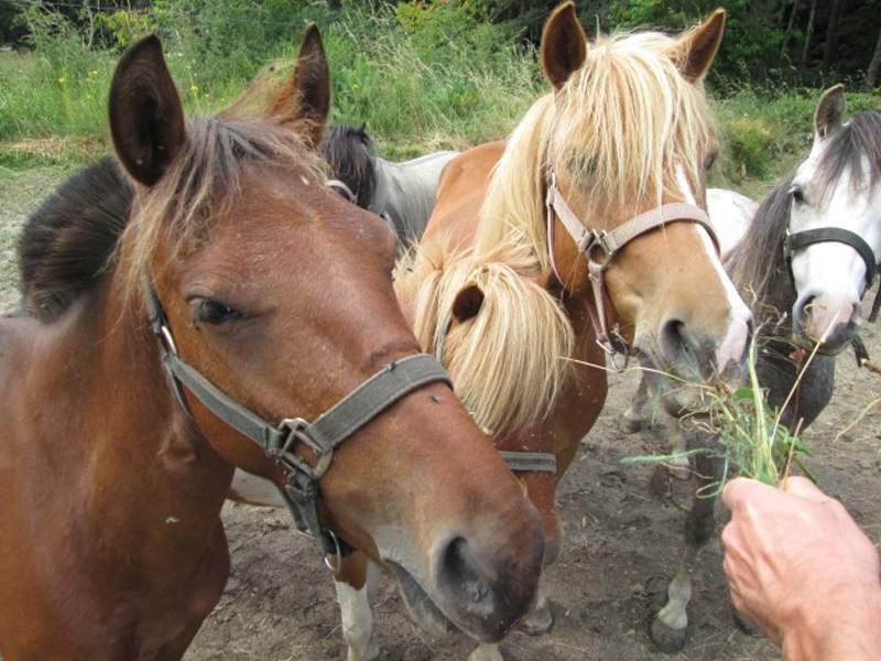 adolescent donnant à manger aux chevaux en colonie de vacances
