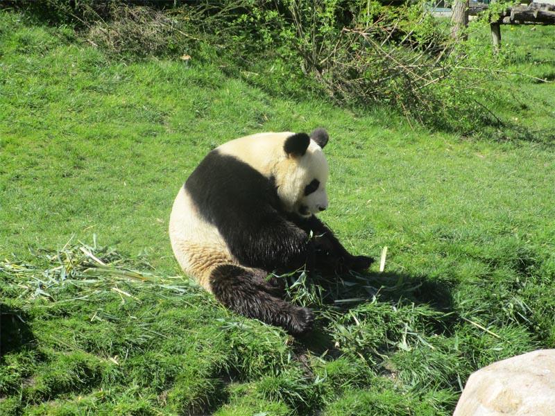 Zoo de Beauval panda