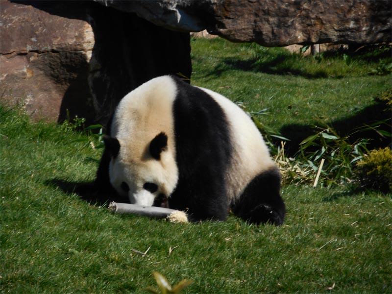 Panda découverte au Zoo de Beauval