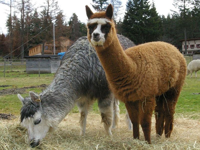 Lamas en colonie de vacances à la campagne en auvergne