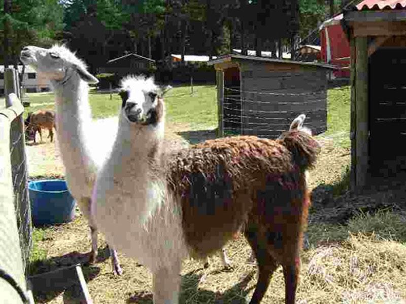 lamas en colonie de vacances cet été pour enfants et ados