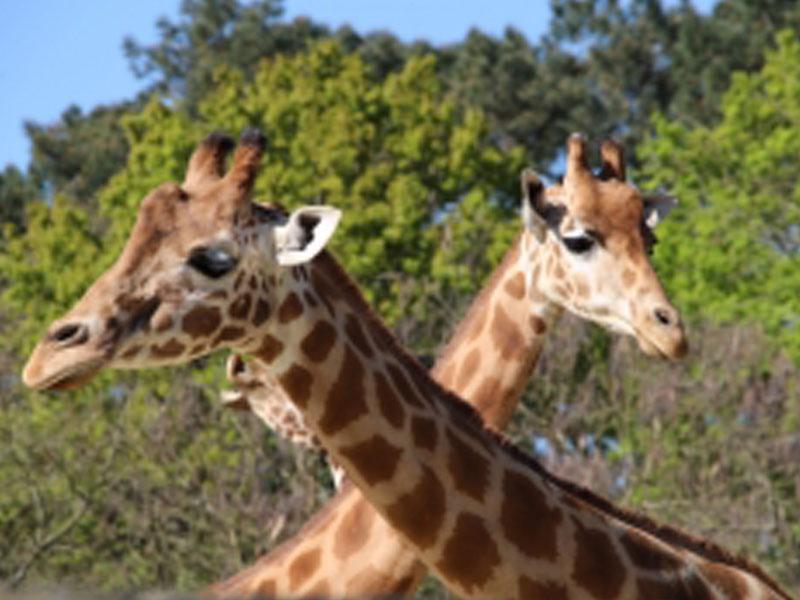 Girafes du zoo de la flèche