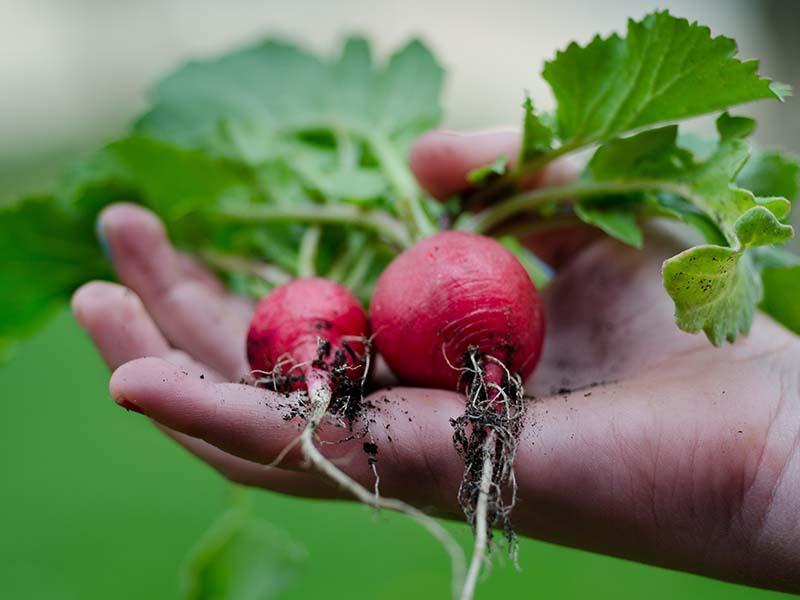main d'un enfant tenant des radis en colonie de vacances ce printemsp