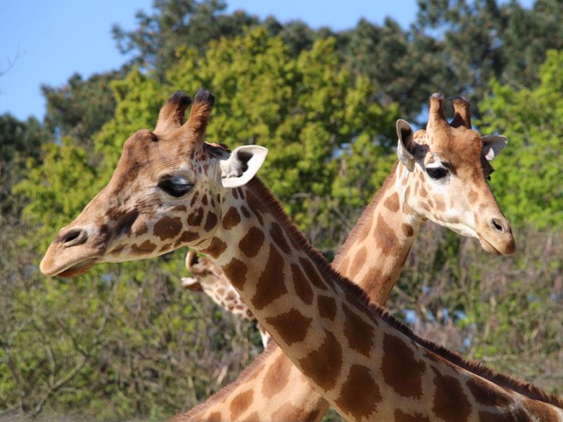 Portrait de girafes au zoo de la flèche