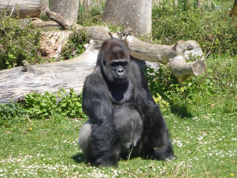 Gorille du parc Défi'planet vu par les enfants en colonie de vacances cet automne