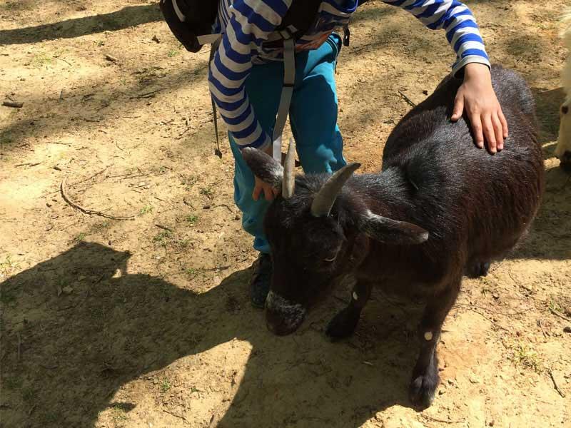 Enfant avec un chevreau cet automne en colonie de vacances