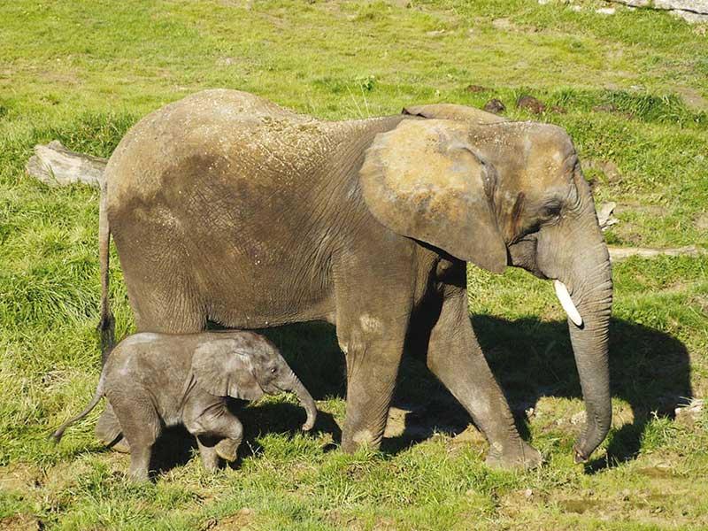 Elephante et son petit aperçus au zoo parc de beauval durant une colonie de vacances à la toussaint