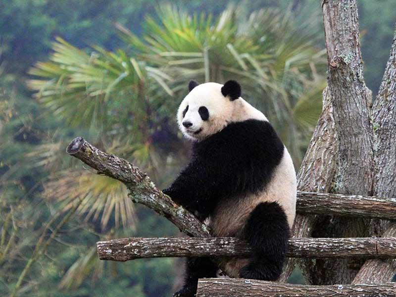 panda au zoo parc de beauval vu en colonie de vacances cet automne