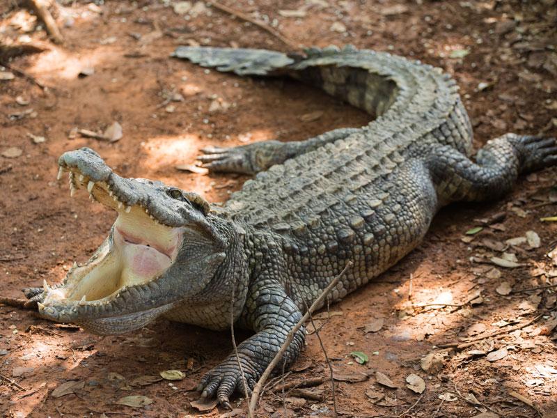 Crocodile au crocopark en colo au Maroc