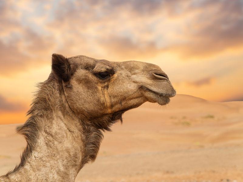 Portrait d'un dromadaire en colo au maroc