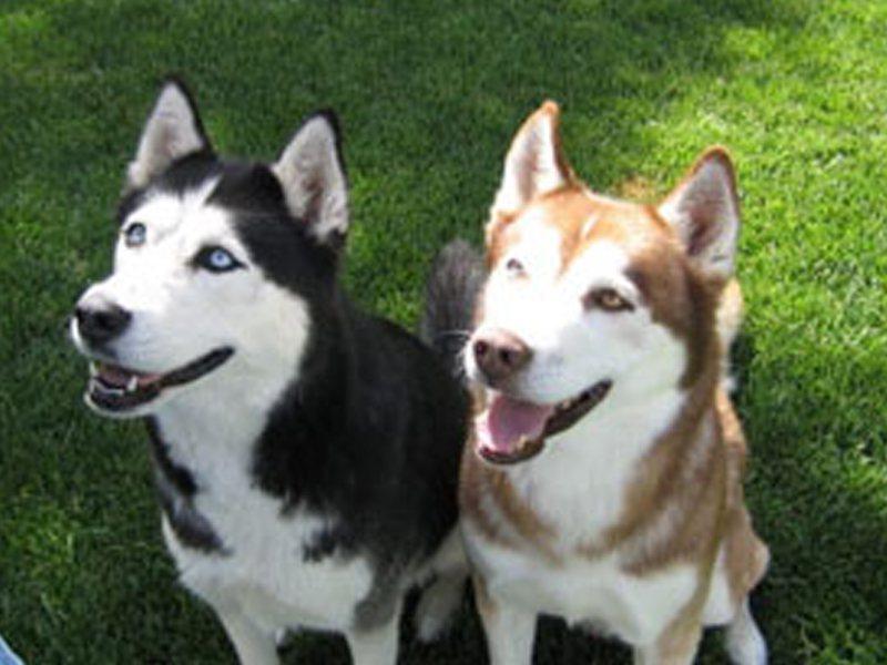 Portrait de deux chiens husky